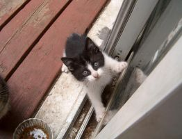 Black and white kitten by Ripplin