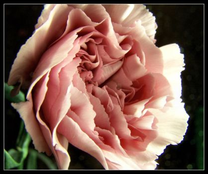 Pink Rose by CazW