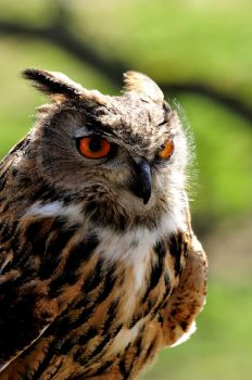 Windswept Eagle Owl. by quaddie