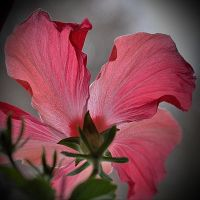 Hibiscus en transparence by hyneige