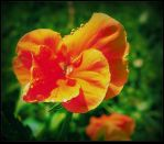 Pansy After the Rain by surrealistic-gloom
