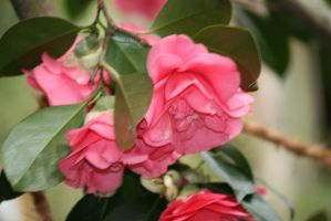 view to pink camellias by ingeline-art