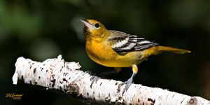 Oriole and birch by DGAnder