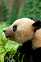 Giant Panda by jemapellenicoletta