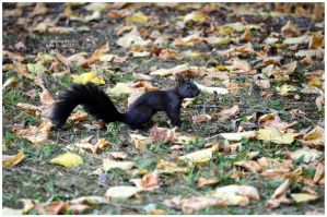 black squirrel by timelesscolors