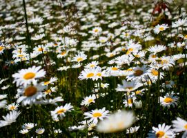 Field Of Daisies by DaishiMkV