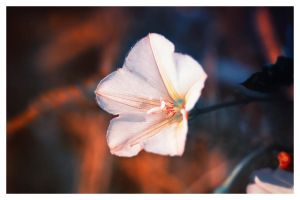 white flower after rain by jagerion