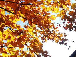 Leaves of a golden color. by parttimepirate