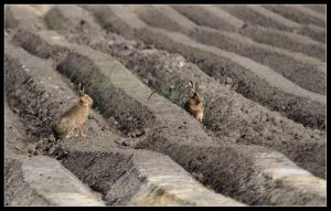 hares by 21711