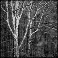 Sycamore Pair by scorpiodesign