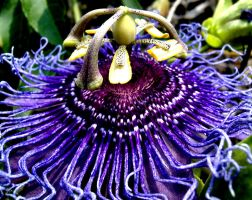 Passion flower by stickitystickman