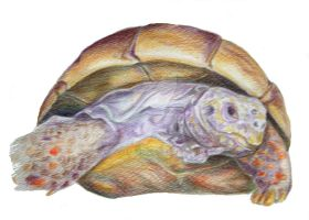 red foot tortoise by dovespirit