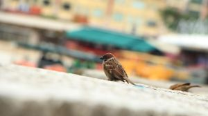 Sparrow at Clark Quay 02 by C-ShuHui