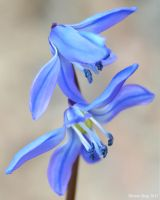 Scilla 2 by ThereseBorg