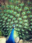 Peacock Shoot 3 by D4RKPR1NCE-86