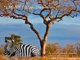 Delta Dawn zebra picture by cattlebaron1