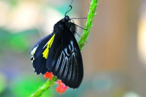 Golden Birdwing by Enkased