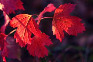 red leaves by jagerion