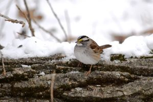 White-throated Sparrow by StormPetral0509