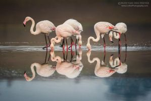 Twelve Feeding Flamingos by LinRuPhotography