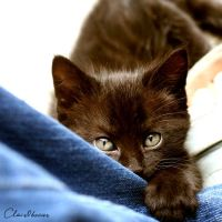 Kitten11 by clair0bscur