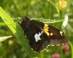 Silver Spotted Skipper by natureguy