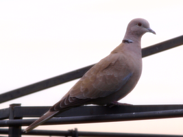 Eurasian Collared Dove by photographyflower