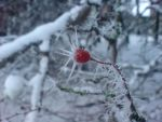 Winter Berry 1 by BabsGrib