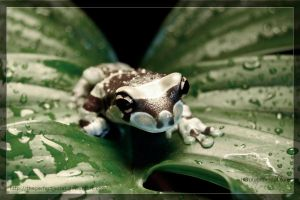 Milk Frog on a Leaf by theperfectlestat
