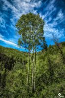 Triple Aspens HDR by mjohanson