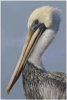 Brown Pelican by Bumblewales