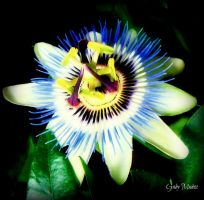 Passion Flower by Dance0927