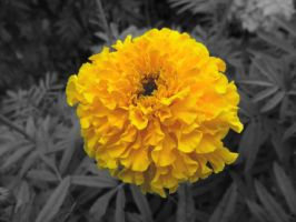 Yellow Tagetes by flegom