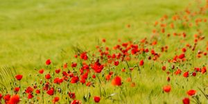 Red Poppy - bright by Tobias-Kaos