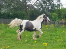 Blue and White Gypsy Vanner Gelding with Blue Eyes by StarCrossedPsycho