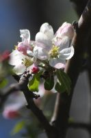 Crabapple Blossoms by papatheo