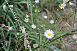 Wild Daisies by x-Goddess-x