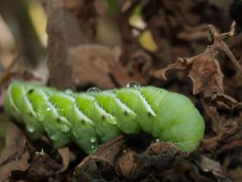 Tobacco hornworm 7 by photographyflower