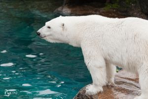 Polar Bear :) by Pycaro