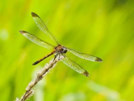 Dragonfly 3 by Scorpini-Stock
