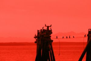 birds w/#25 red filter by acollins973