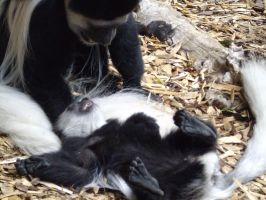 Colchester Zoo photos 8 by pan77155