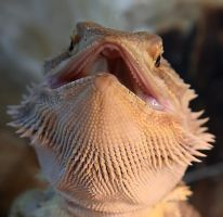 Bearded Dragon 2 by NickiStock