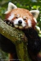 Red Panda by Alannah-Hawker