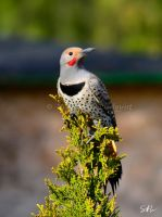 Red-Shafted Flicker by Momenti-Photo