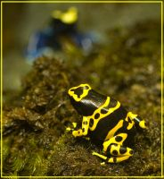 Dart Poison Frog by justfrog