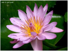 Lotus by Olvium