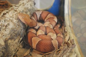 Copperhead Snake by ManitouWolf