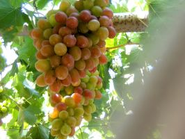 Cyprus Grapes by Wingweaver666