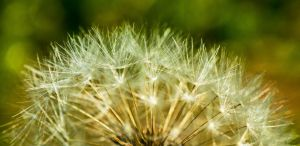 The Time Of  Dandelion by EnacheArmand